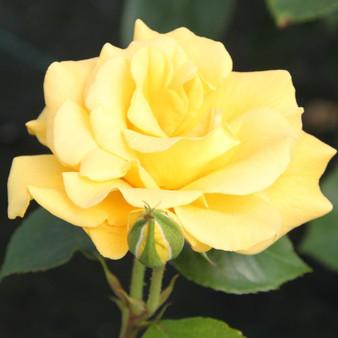 Rosa 'Precious Gold' 10L