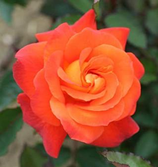 Rosa 'Super Trouper' 10L
