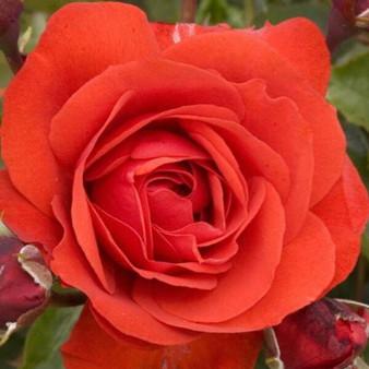 Rosa 'Trumpeter' 10L