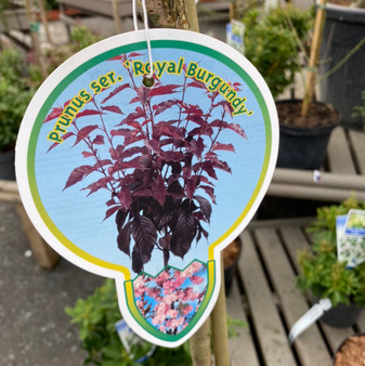 Prunus serr 'Royal Burgundy' 80cm (5L)