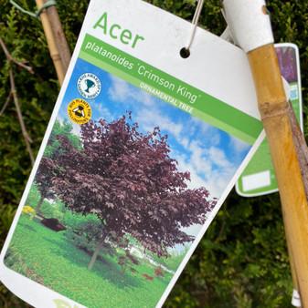 Acer plat 'Crimson King'