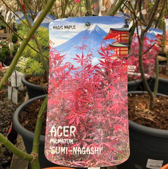 Acer Palm. 'Sumi 'Katsura' 10L