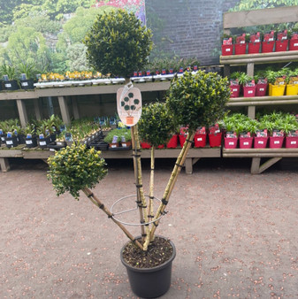 Buxus Sempervirens Pon Pon Ball