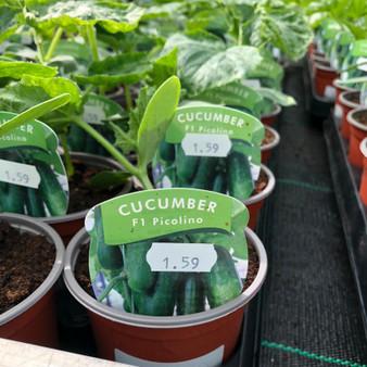 Cucumber- F1 Picoline