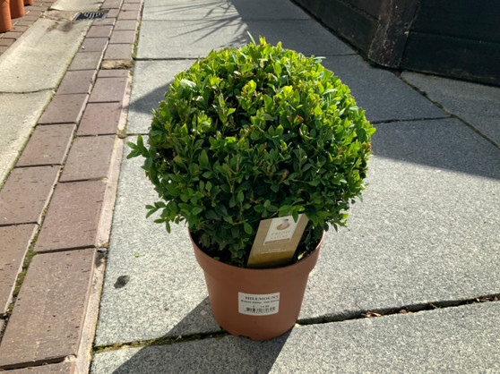 Buxus Sempervirens 20cm Ball