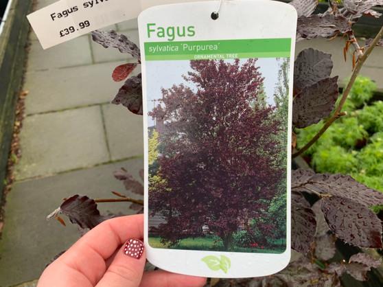 Fagus Sylvatica Purpurea