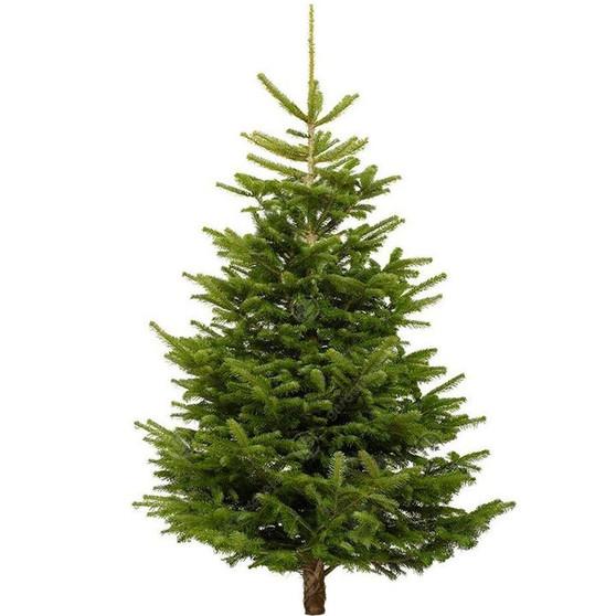 Nordmann Fir Cut Real Christmas Tree, 7ft - 8ft