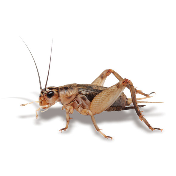 Crickets - Live Food Large