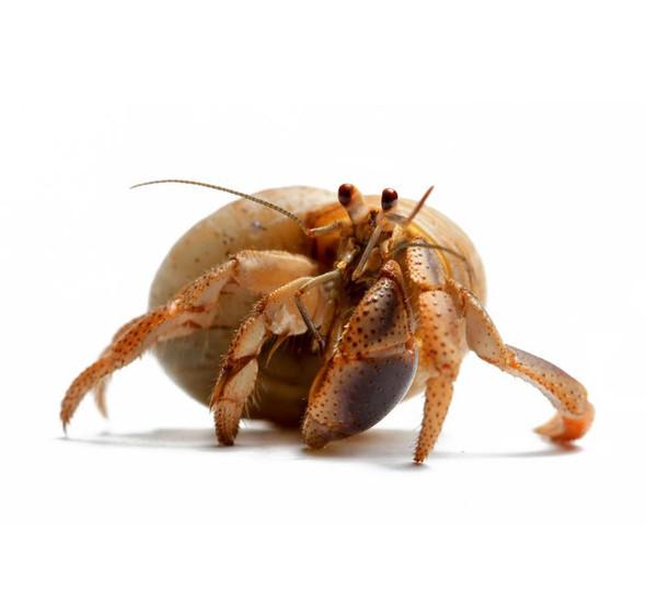 Hermit Crab - Small