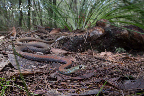 Yellow-faced Whipsnake Digital Download