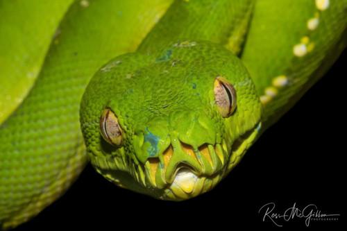 Gaze of the Green Python Digital Download