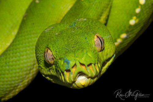 Gaze of the Green Python Digital Download