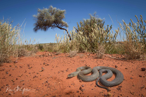 Mulga Snake Country Digital Download