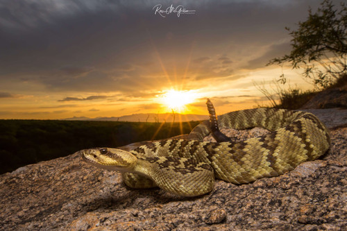 Black-tailed Rattlesnake - Digital Download