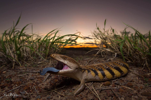 Northern Blue Tongue Digital Download