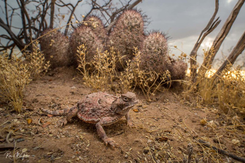 Desert Horned Lizard Digital Download