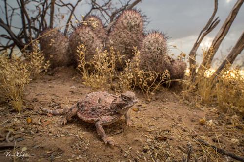 Desert Horned Lizard Digital Download