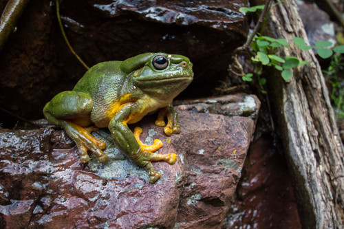 Magnificent Tree Frog - Digital Download