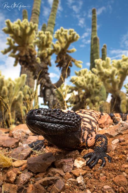 King of the Cactus II Digital Download