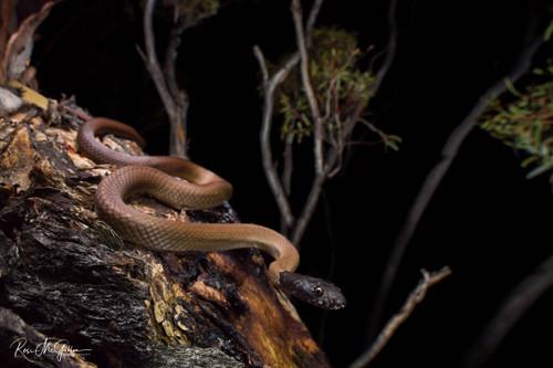 The Cryptic Lake Cronin Snake - Digital Download