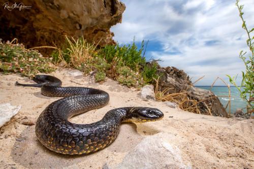 Carnac Island Tiger Snake Digital Download