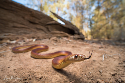 Little Red Mulga Snake - Digital Download