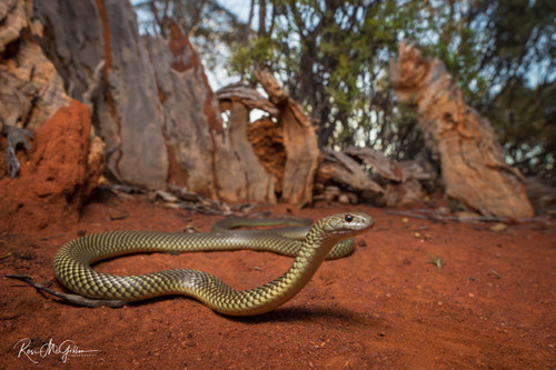 Little Lime Mulga Snake - Digital Download