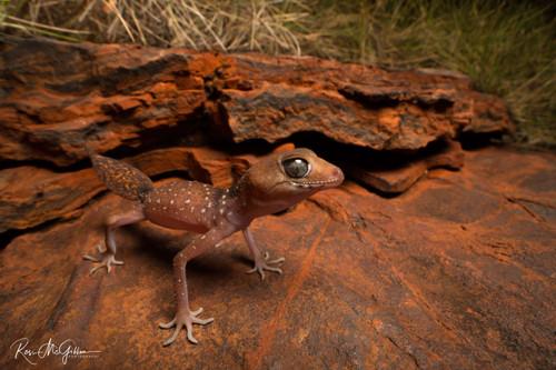Pilbara Barking Gecko - Digital Download