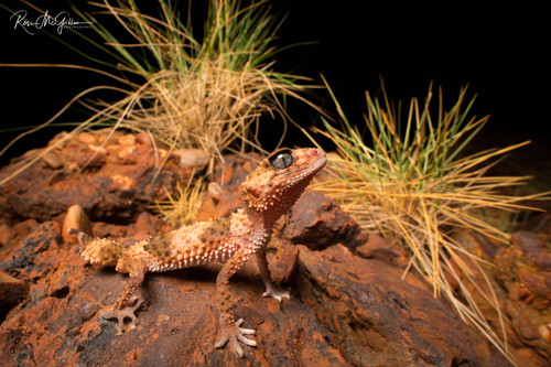 Northern banded knob-tailed gecko - Digital Downloads