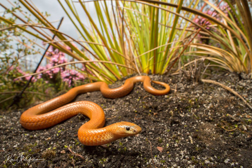 Rare Orange Square-nosed Snake - Digital Downloads