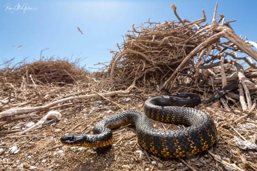 Carnac Island Tiger Snake III - Digital Download