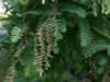 Jurassic Dawn Redwood Tree Grow Kit