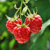 Heritage Ever-bearing Red Raspberry