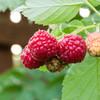 Bushel and Berry™ Raspberry Shortcake