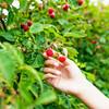 Bower & Branch® Raspberry Bushes