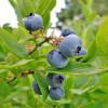 Bluecrop Highbush