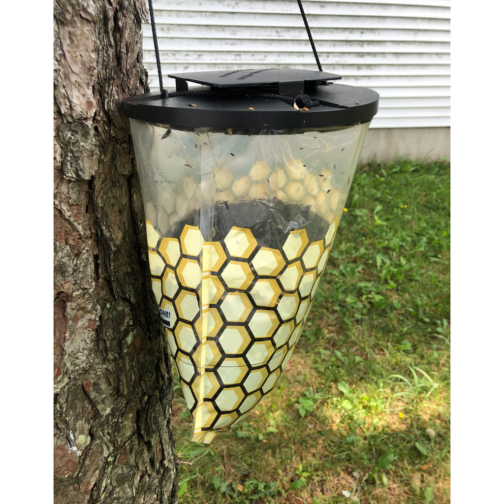 Trap with captured flies after 2 weeks