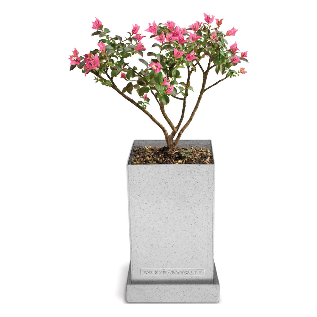 Photo shows crepe myrtle bonsai at 5 years old
