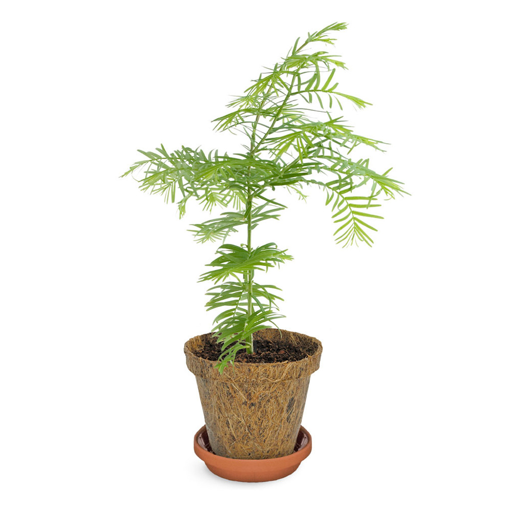 Dawn Redwood Tree-to-Be