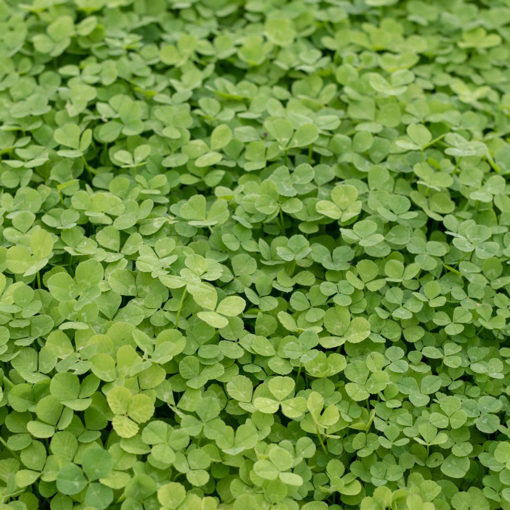 Microclover Seed 1 lb
