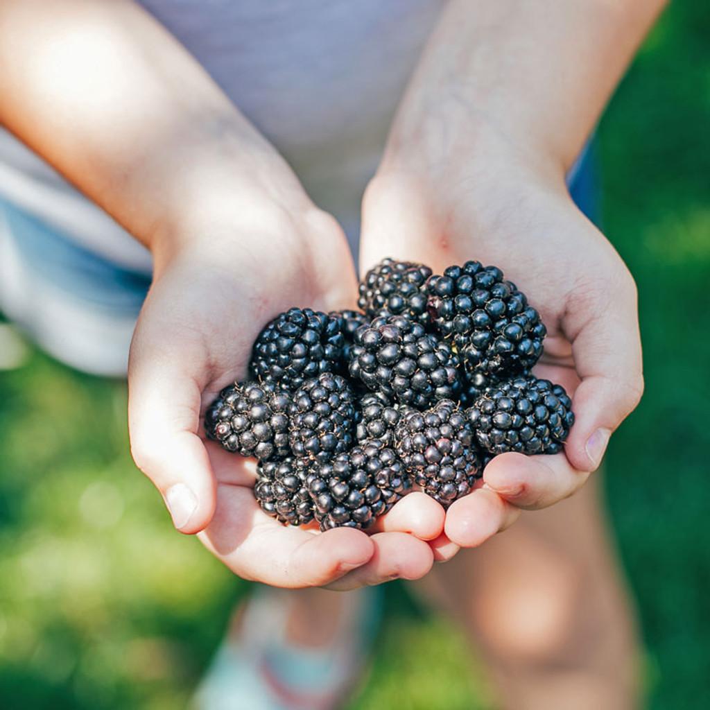 Bower & Branch® Blackberry Bush