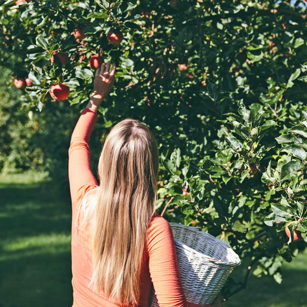 Bower & Branch® Fall Fruiting Semi-Dwarf Apple Trees