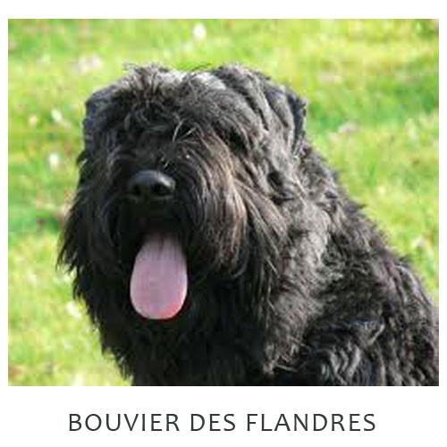 Bouvier Des Flandres