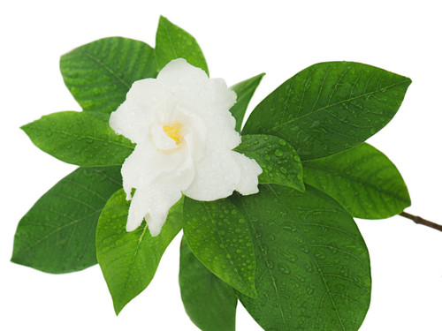 Gardenia, the exquisite aroma of tropical Gardenia. Infused with natural essential oils.  Just Add Water to Refresh. Best Damn Scents - Dunham's Essentials, Dunham's Home