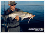 Striped Bass in the Spring Using Big Occhi