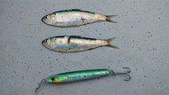 All About Baitfish