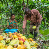 Congolese Cocoa