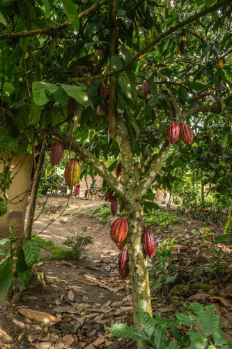 From Cacao to Cocoa