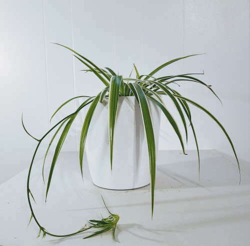 Spider Plant  indoor plant for sale