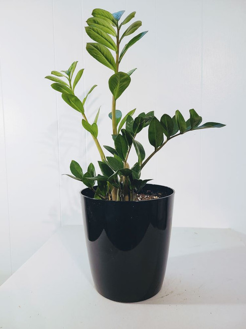 Zamioculcas zamiifolia, or more common short name ZZ plant, is characterized with thick and waxy greenery.